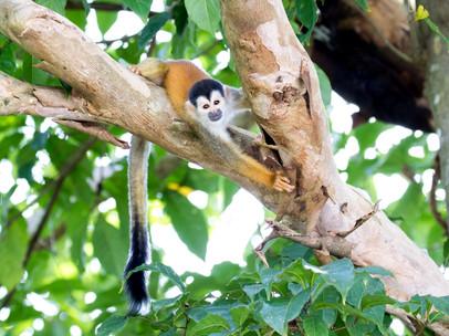 Central American Squirrel Monkey