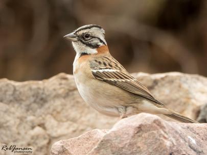 Rufous-coloured Sparrow