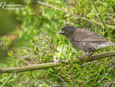 Male Small Ground Finch