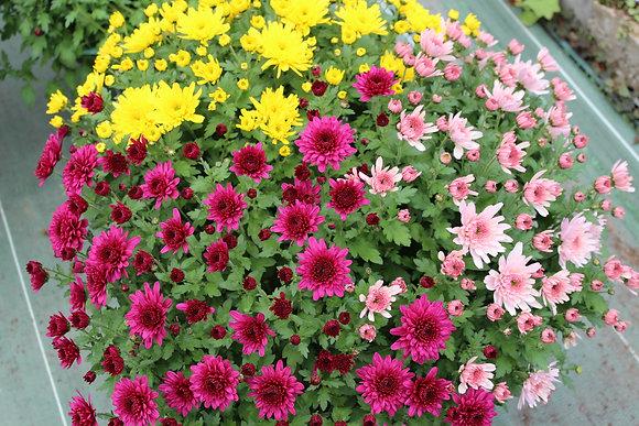 Coupe chrysanthème multifleurs