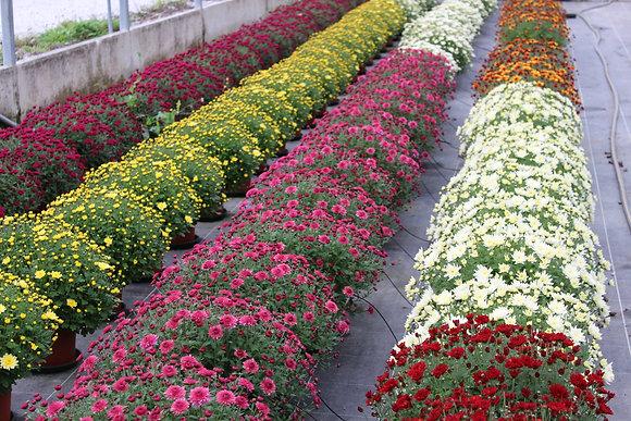 Chrysanthème multifleurs