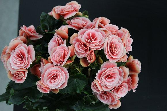 Bégonia rose et blanc
