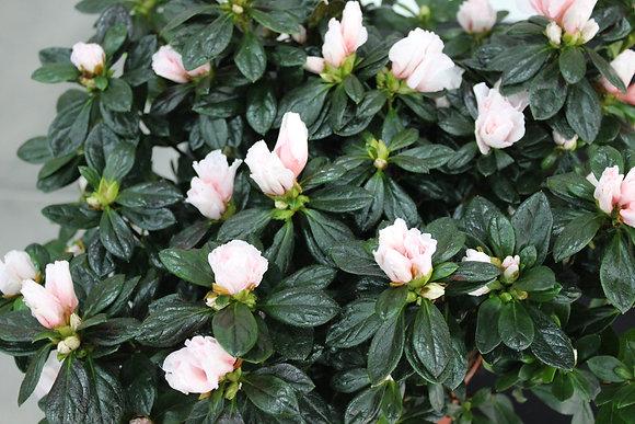 Azalée rose pâle