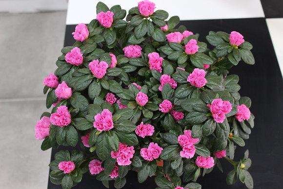 Azalée rose