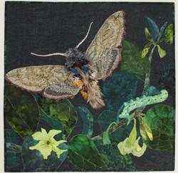 Blackburns Sphinx Moth