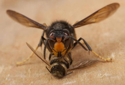 avispa-asiatica-mata-abejas.jpg