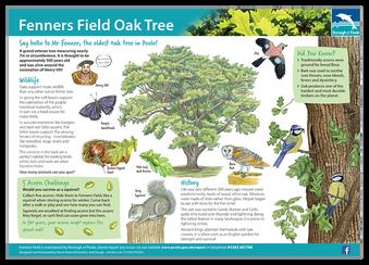 Fenners Field Oak Tree board