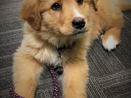 Please join us in welcoming Karma as our new therapy dog