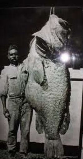 MCA-Murray-Cod-are-a-large-species.jpg