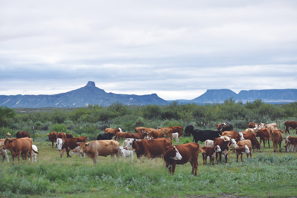 cows_mountains.jpg
