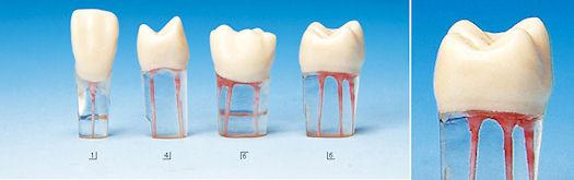 modelli dentali resina training