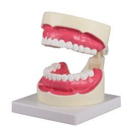 modelli anatomici per odontoiatria