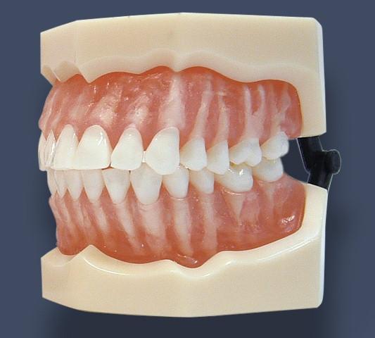 modelli anatomici per odontoiatri