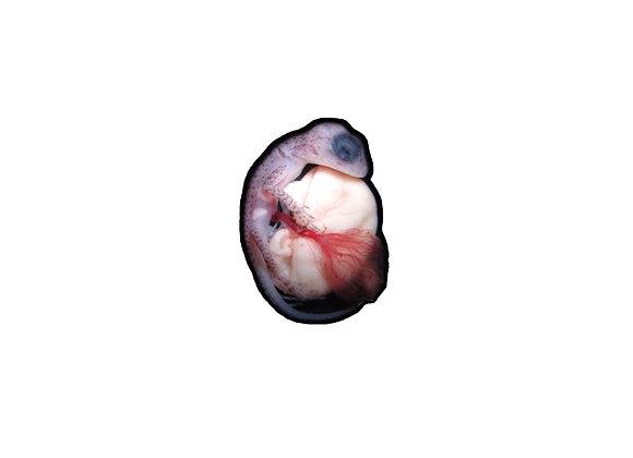 Adesivo embrião de lagarto