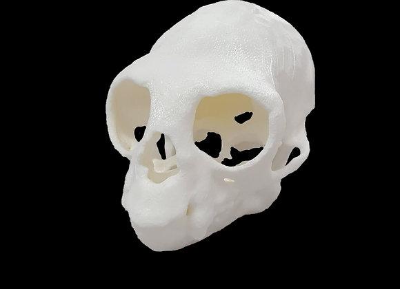 Crânio primata 3D