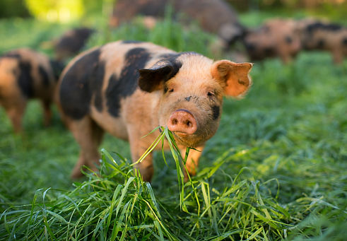 pigs and grass.jpg