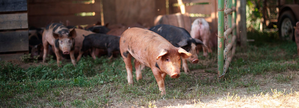 pastured pork and happy meat in Easley in Upstate South Carolina