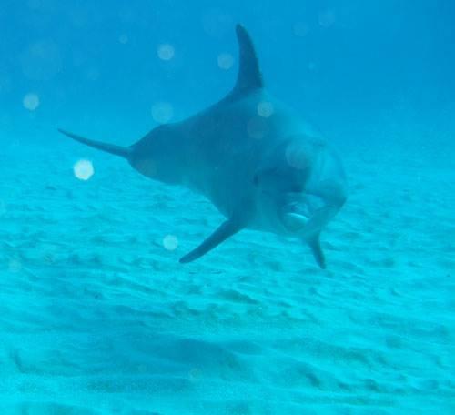 Jamaica Dolphin.jpg