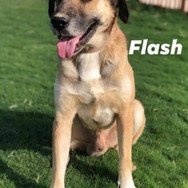 Flash is a beautiful very large Kangal X boy. He is a bit of an alpha dog hence a home with females would be best. He is ok with cats and once comfortable in an environment makes a very lovable and fun and good pet. He needs a lot of patience to start with so an experienced home is preferred. He is active, bıg and clever - an active home that is willing to work with him and teach him is a necessity.