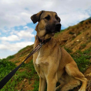Chiva is an about 2 year old Anatolian Shepherd X girl. She grew up in a shelter environment and has little or no knowledge of the outside world. Chiva uses her voice to make sure nothing and no one comes too close. A sort of defense mechanism because she is a very gentle and lovable girl once comfortable. At the moment she feels a lot more comfortable with her own kind but we will be working hard to help her accept us humans more easily. At the moment she can be adopted only by very experienced families