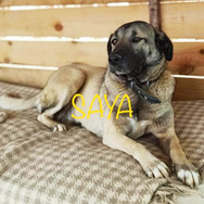 Saya is a Kangal X girl, she is about 4 years old and has been living in a kennel environment for the last 3 years. She is very timid and shy, she knows little about life. She will need a lot of patience and knowledge. Until we find the perfect home for her, we will do our best to socialize her. She hasnt a bad bone in her body and once comfortable will shower her new owner with copious amount of pure Love.