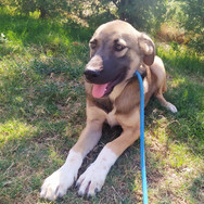 Bingo is an adorable approx. 9 month old Kangal cross. He is a beautiful teenager with all the right characteristics. He's submissive when needed, playful when appropriate, shows gentle interest with children and has learnt to love human attention.