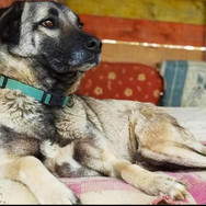 Mimi is about 4 years old. Mimi, a Kangal X, is a distemper survivor. The disease left her with a wonky jaw grind - it doesnt bother her at all. She has been in a kennel environment for at least 3 years - hence, she is very shy and timid. She will need a lot of time and patience in a new environment. There isnt a bad bone in her body. She knows to handle other dogs very well - she is a seasond street pup. Humans will need time and a home with rescue pup experience is preferred.