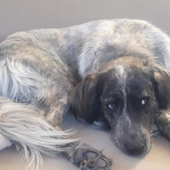 Laika is an adorable 2/3 year old Settermix. She is still very very shy and we are working hard on helping her overcome her issues. Once a little more secure she will make an absolutely wonderful pet. Her character is very good and quite balanced. Laika get son with dogs and cats.