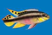 Kribensis cichlid Pelvicachromis pulcher