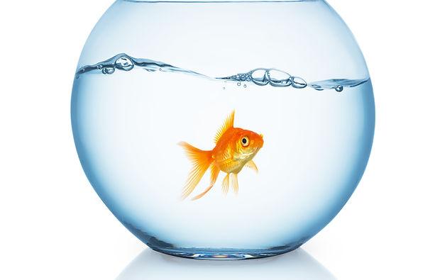 curious looking goldfish ina fishbowl.jpg