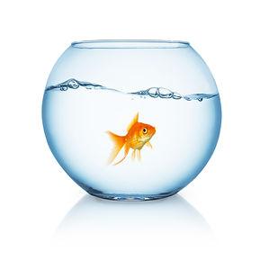 curious looking goldfish ina fishbowl.jp