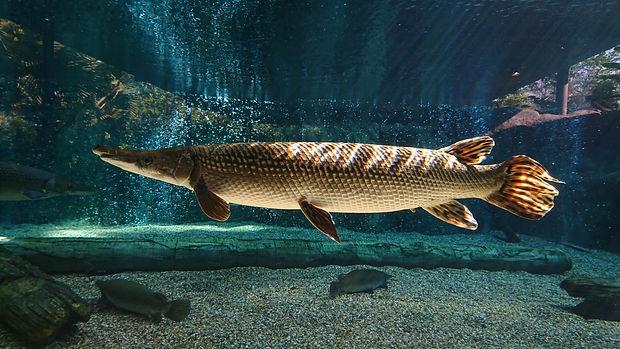 This spectacular Alligator gar (Atractos