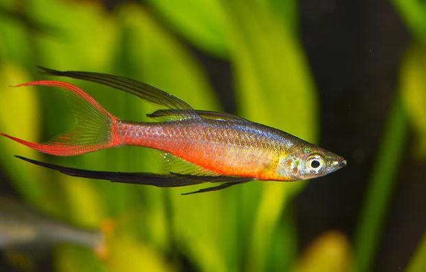 Portrait of aquarium fish - Threadfin ra