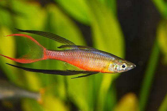 Iriatherina werneri, Threadfin Rainbowfish, freshwater aquarium fish