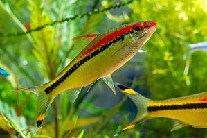 Freshwater fish Denison's Barb or Puntiu