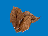 Catalpa Tropical almond leaves on blue.j