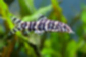 Botia histrionica, Loach, freshwater aquarium fish