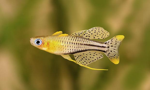 spotted blue eyed rainbow fish Pseudomug
