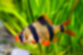 Puntigrus tetrazona Tiger Barb freshwater aquarium fish