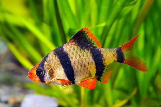 Puntigrus tetrazona Tiger Barb freshwater aquarium fish