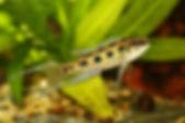 Dicrossus filamentosus, Lyretail Checkerboard Cichlid, freshwater aquarium fish