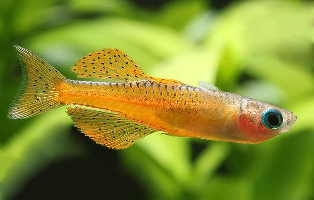 Red Neon Rainbow Fish (Pseudomugil luminatus) with synonyms paskai, irian and iriani from