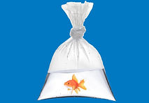 Gold Fish in Bag on blue 2.jpg