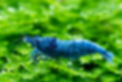 Blue bolt freshwater shrimp standing on