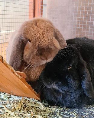 Rabbit adoption Tasmania