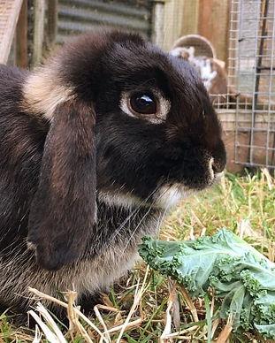 Rescue Rabbit Launceston