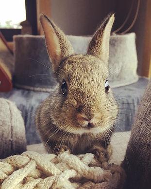 Rescue Rabbit Launceston Adoptions
