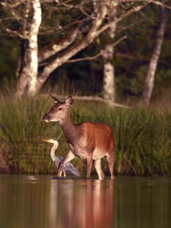Biche et héron marchant dans un étang