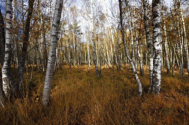Forêt de bouleaux et herbes jaunies