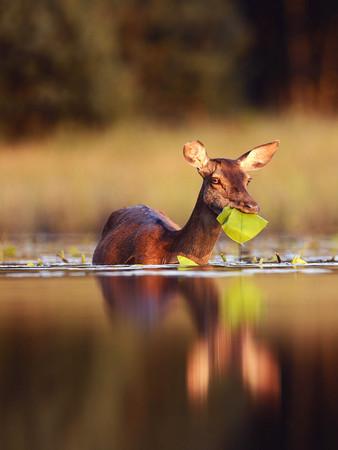 Repas d'une biche marchant dans l'eau